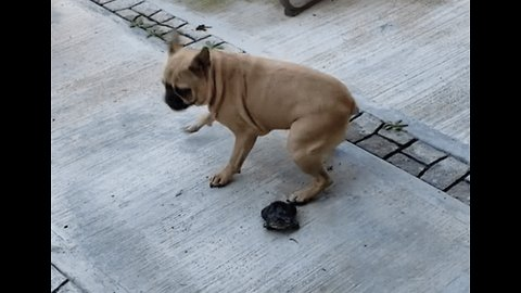 Shell Shocked: Turtle Unimpressed by Booty-Shaking Pug