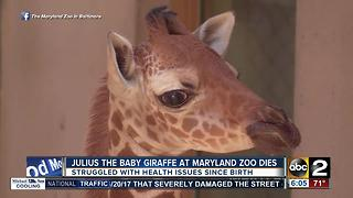 Julius the baby giraffe at The Maryland Zoo dies - Video