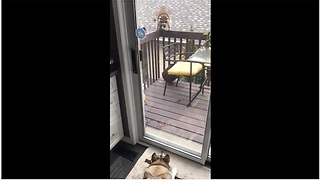 Tail-Wagging Raccoon Visits His Canine Friend - Video