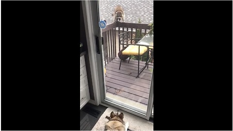 Tail-Wagging Raccoon Visits His Canine Friend