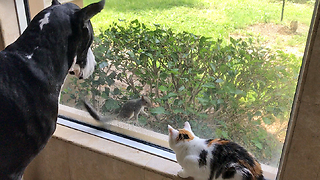 Squirrel teases dog and cat, everyone gets surprised! - Video
