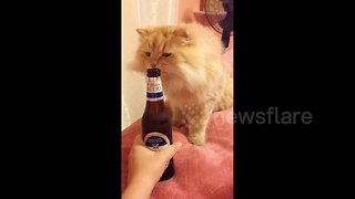 Curious cat wants to try her first taste of beer - Video