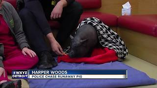 Metro Detroit police catch pig on the loose - Video