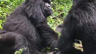 Wild gorillas chill out in the trees