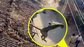 Angry leopard lunges at rescue worker who jumps off the roof - Video