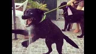 Dog Goes Insane With Enthusiasm Over Water From Hose - Video