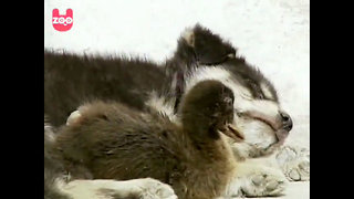 Puppy Becomes Inseparable Best Friend To A Little Duckling