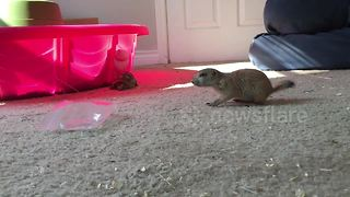 Baby prairie dog meets sulcata tortoise - Video
