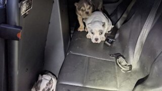 Las Vegas police return stolen English Bulldog puppies to owner