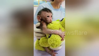 Baby monkey hugs cuddly toy while being treated by vets - Video