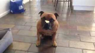 Talented Dog Shows Great Restraint While Balancing Treat - Video