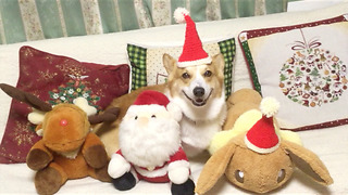 Corgi Santa Dog Christmas Video