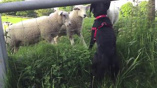 Puppy and sheep absolutely fascinated by each other