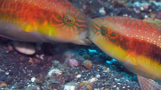 Make love not war – Kissing fish are actually fighting - Video