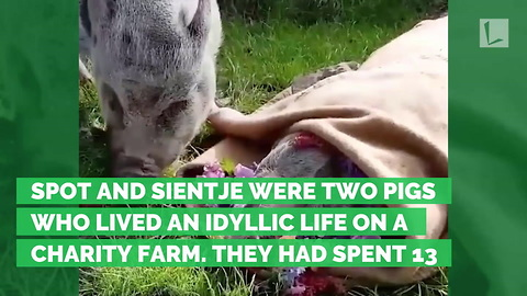 Heartbreaking Moments Owner Allows Pig To Mourn Loss of Best Friend