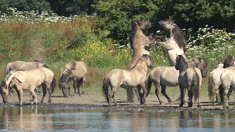 Wild Horses Show Off Their Strength As Several Scuffles Break Out Between Them