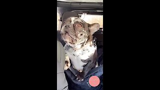 Frenchie throws tantrum when forced to sit in the back seat