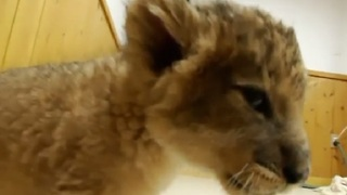 Baby Lion Cubs Get Up-Close-and Personal at Japanese Zoo