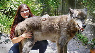 Yuki The Giant Wolf Dog | BEAST BUDDIES