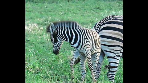 Baby zebra humorously struggles to remove bird on its ear