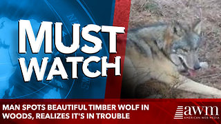 Man Spots Beautiful Timber Wolf In Woods, Realizes It's In Trouble - Video