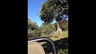 Giraffe Chases Friends While On Tour Around The Wilderness  - Video
