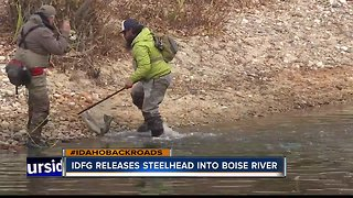 Fish and Game releases steelhead - Video