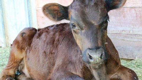 Calf Loses Mother and Gains a Best Friend. Now He Can't Stop Jumping for Joy
