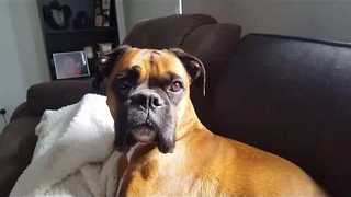 Boxer Dog Thrilled to Visit Canine Cousin - Video