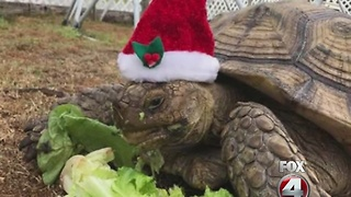 Missing Tortoise home for Christmas - Video