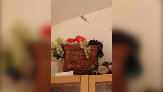 """Lizard Chases Laser Pointer"""