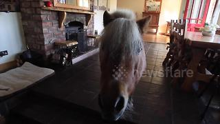Shetland pony acts like a dog - Video