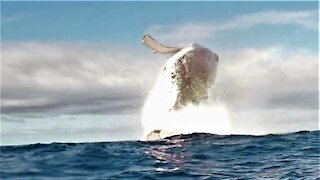 Humpback whale explodes from the water next to shocked swimmers