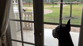 Mesmerized Mantle Great Dane Watches Squirrel Reality TV
