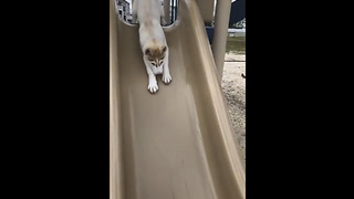 Husky Puppy Happily Goes Down The Slide