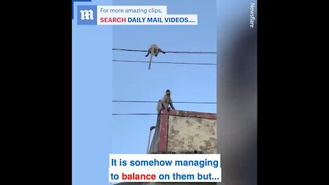 The monkey risks it all in order to save its baby's life!