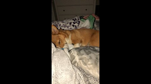 Sleepy Corgis