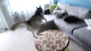Super-hyper husky does crazy zoomies - Video