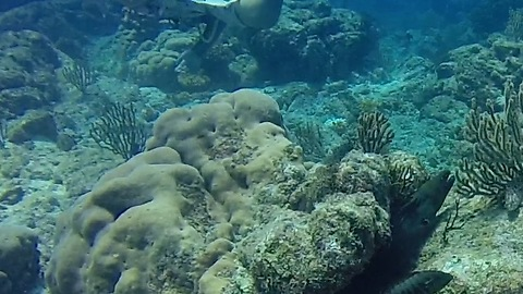 Moray Eels follow divers across the reef