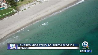 Scientist says more sharks could migrate to South Florida waters in coming months
