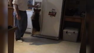 Corgi Loves The Ice Machine - Video
