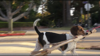 Beagle with a Branch