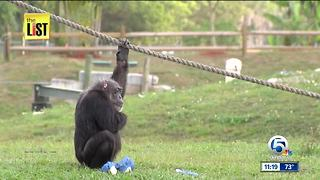 Little Mama, the oldest chimpanzee on record dies at Lion Country Safari - Video