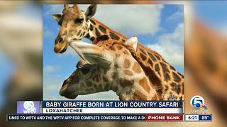 Name the newest giraffe at Lion Country Safari - Video