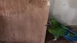 Clever parrot easily outsmarts his human - Video