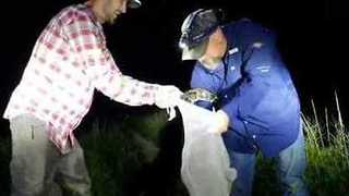 Florida Snake Catcher Captures Python Close to a Gator - Video