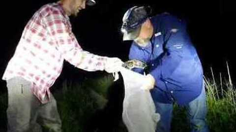 Florida Snake Catcher Captures Python Close to a Gator