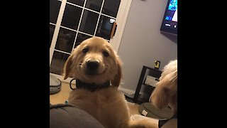 Puppy has perfect solution for how to deal with barking dog