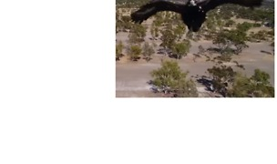 Wedge-Tailed Eagle Tries to Grab Drone in Western Australia - Video