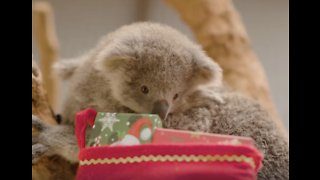 Adorable Aussie Animals Do Cute Christmas Stuff